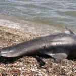 Νεκρά δελφίνια στο Αιγαίο μετά την τουρκική άσκηση «Γαλάζια Πατρίδα»