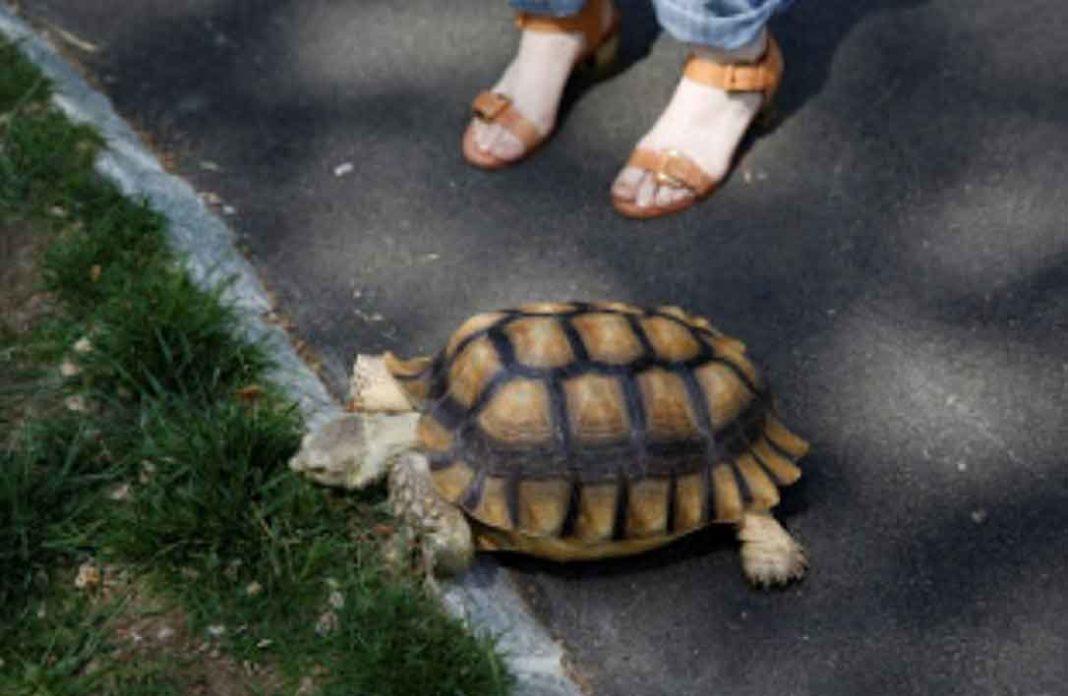 Η γυναίκα, που «έκανε βόλτα πεζή με τη χελώνα της», «έδωσε μια μονάχα δικαιολογία, υποστήριξε ότι είχε βγει έξω από το σπίτι της για να κάνει βόλτα τη χελώνα της».