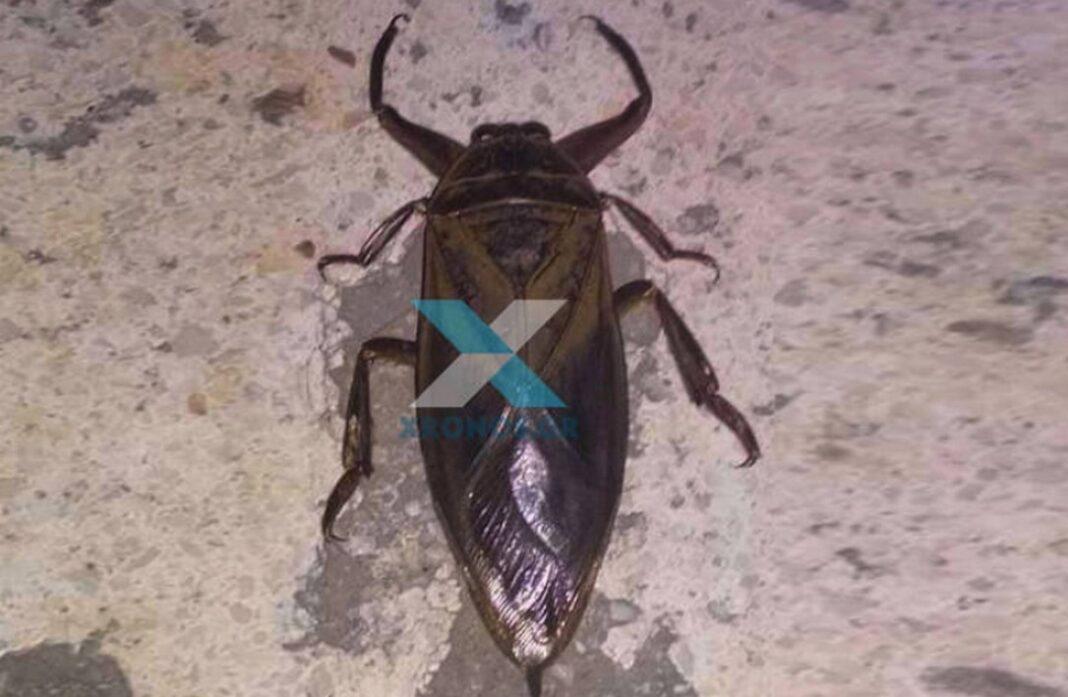 Ο λιθόκερος Ένα αρκετά σπάνιο έντομο έκανε την εμφάνισή του στο κέντρο της Κομοτηνής