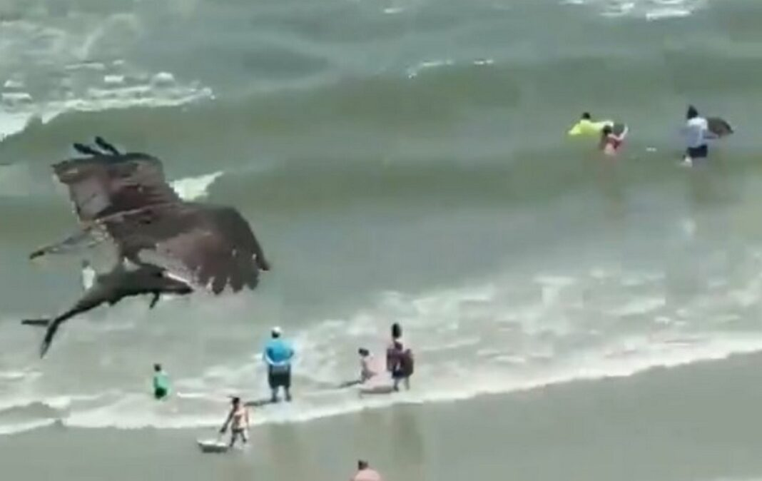 Αρπακτικό πουλί πετά πάνω από κατάμεστη παραλία κρατώντας έναν…καρχαρία
