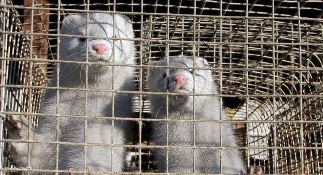 Κορονοϊός: Θετικά όλα τα δείγματα των μίνκ στη φάρμα της Κοζάνης! Επιβεβαιώθηκαν οι χειρότεροι φόβοι